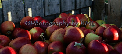 harvested apples in a wood crate