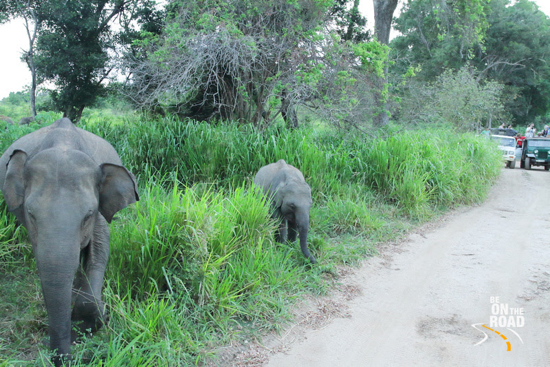 An elephant crossing at Minneriya National Park, Srilanka
