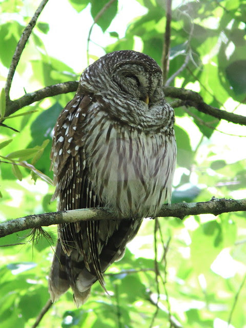 Barred Owl 20130310