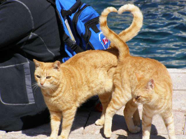 γάτες σχήμα καρδιάς με την ουρά τέλειο συγχρονισμό