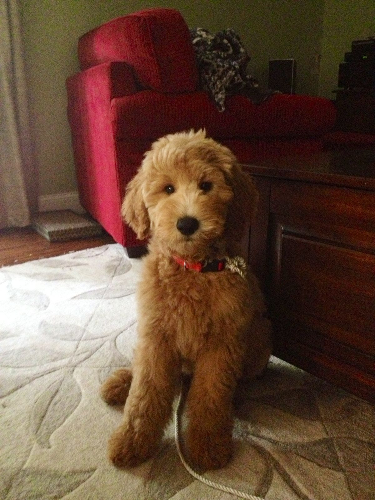 goldendoodle  Things I Need  Pinterest  Goldendoodle