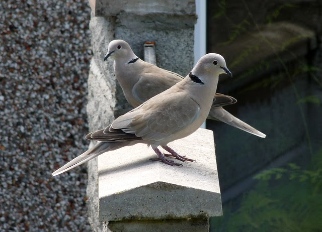 24695 - Collared Doves, Garden