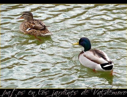 patos en los jardines y parques de valdemoro