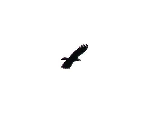 Bald eagle from FAR away