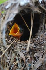 hungry_humming_bird_babies_2 by IngSiang (Vagabond)