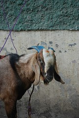 The Last Will of the Sacrificial Goat by firoze shakir photographerno1