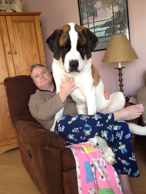 38. The 11-month-old Simba, weighing 60 kg the size of the dog