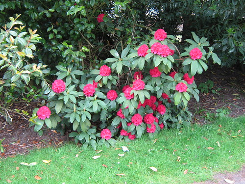 Rose-red rhododendrons