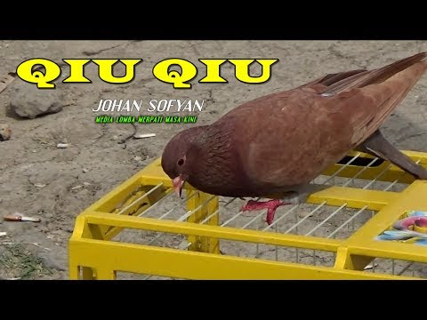 Unduh 99+ Gambar Burung Qiu Qiu Paling Baru Gratis