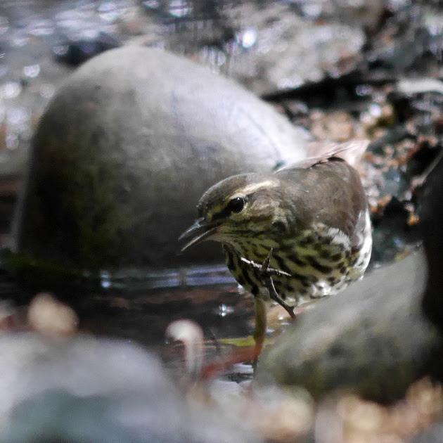 Ed Gaillard: birds &emdash; Northern Waterthrush, Tanner's Spring