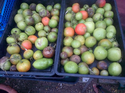 green tomatoes Oct 13