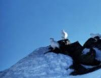 Pernice bianca, di P.Jaccod