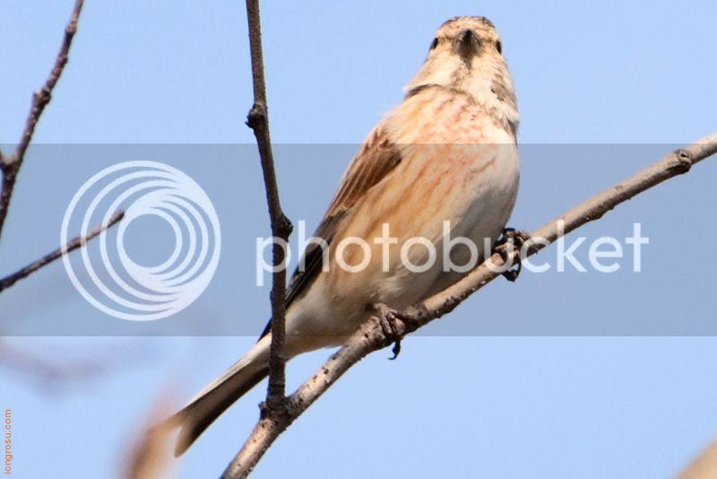 Cînepar (Carduelis cannabina) Ion Grosu Pasare Moldova