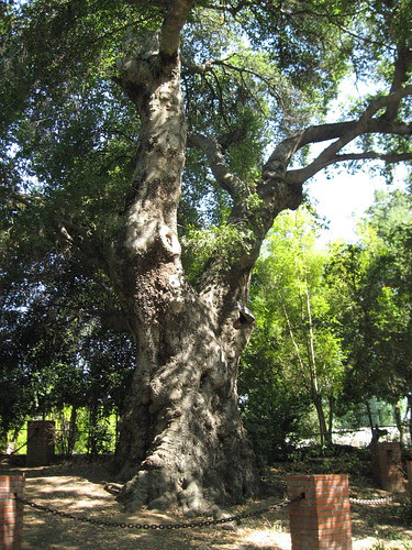 Rancho Sombra del Roble - 700-year-old Coastal Live Oak