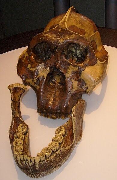 File:Paranthropus boisei skull.jpg