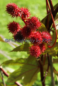 red round spiky flowers in the autumn