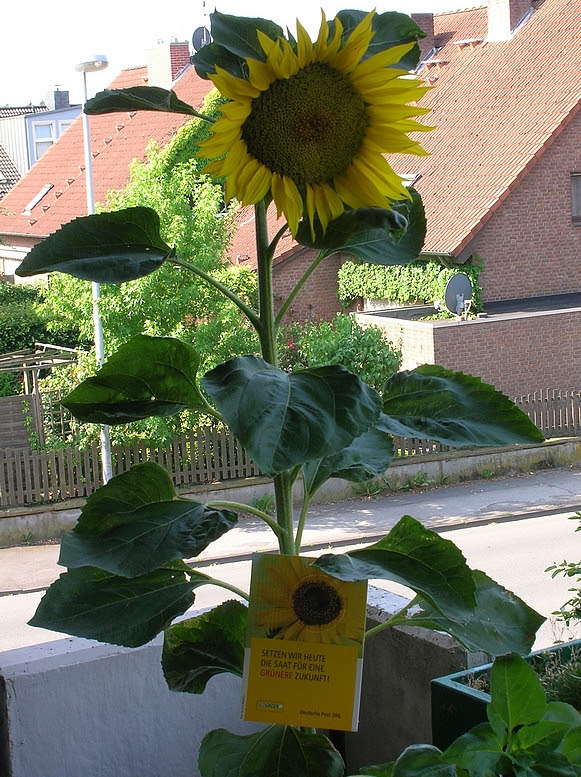 GoGreen Sonnenblume DHL