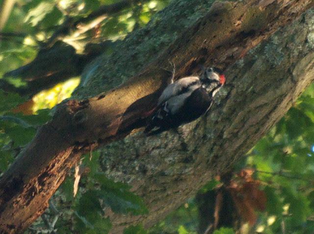 DSC_4934 Greater spotted woodpecker