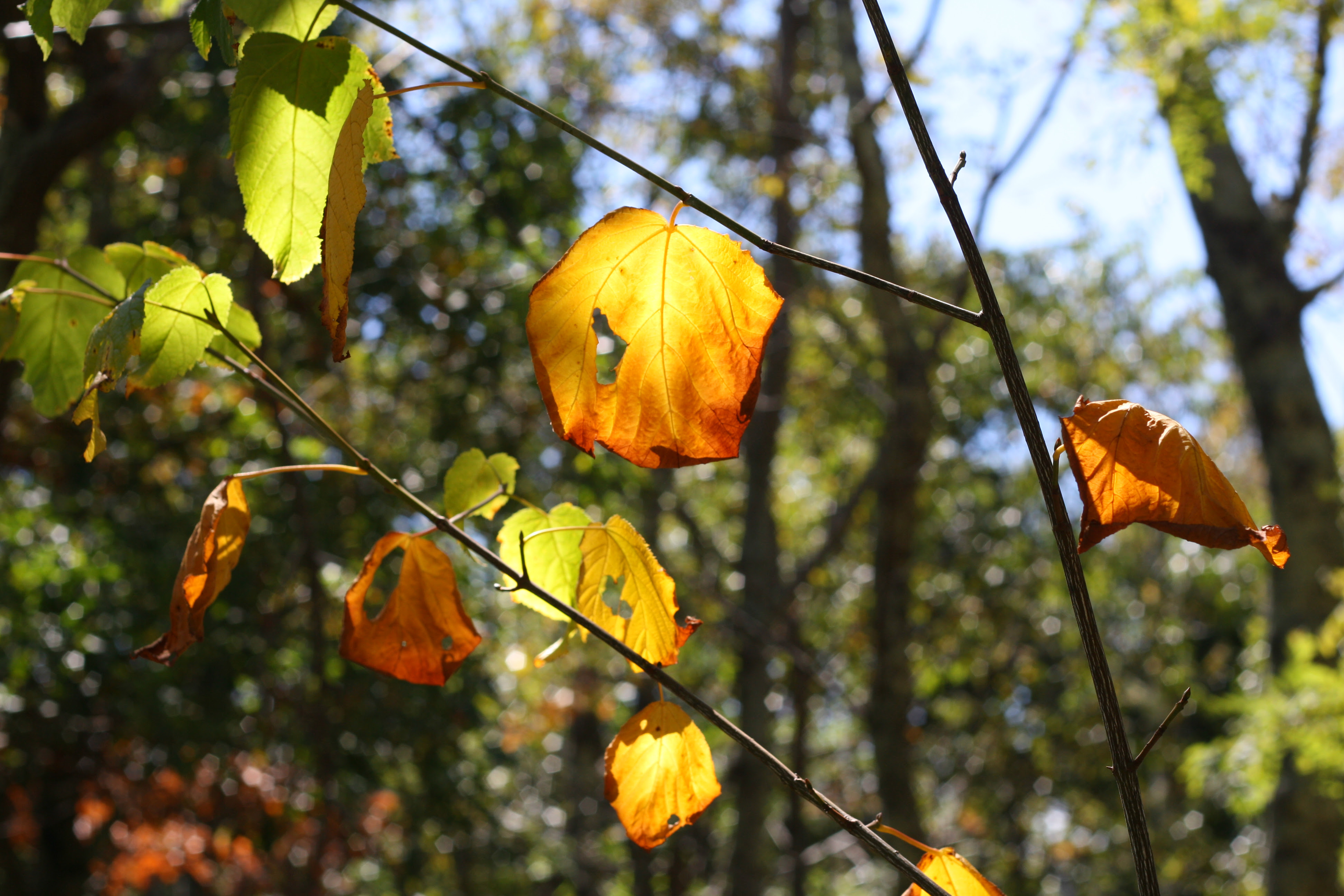 sunlit fall leaves, leah wise