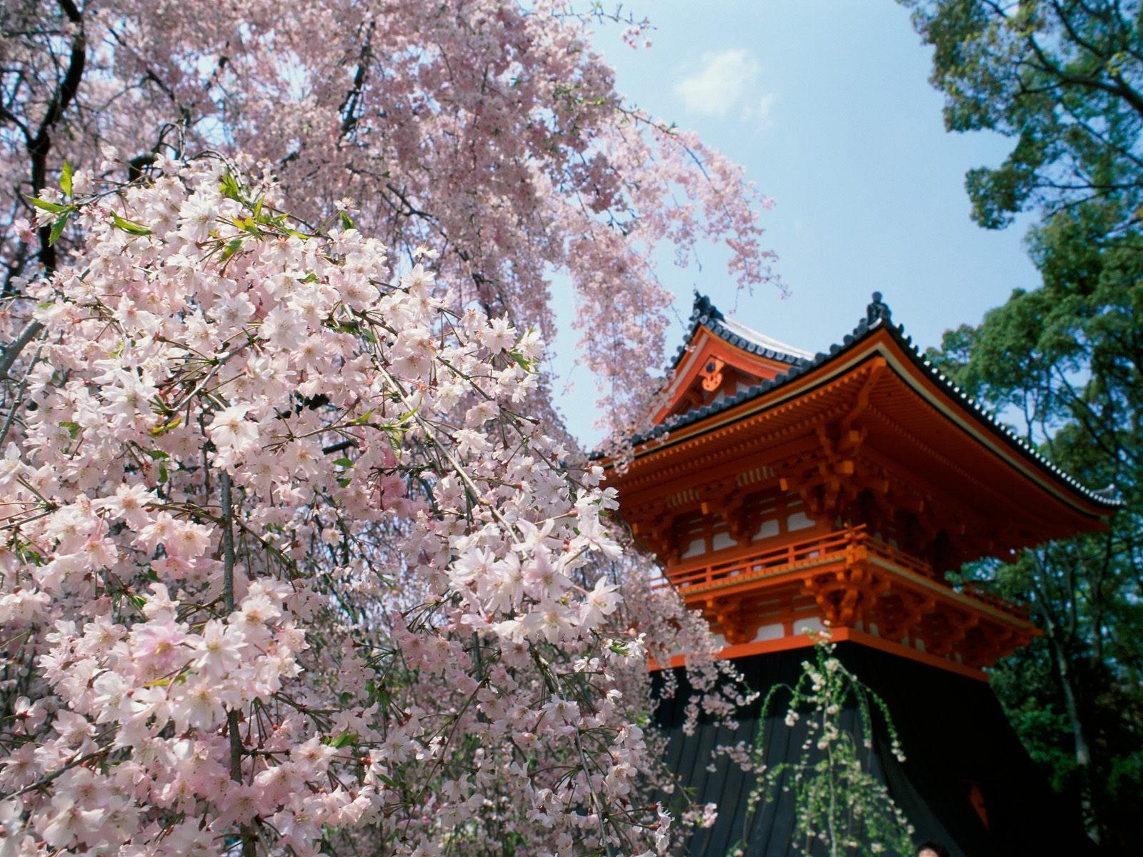 Japan Sakura Wallpaper Hd