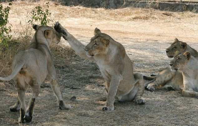 Transfer surplus Gir lions to Madhya Pradesh, Digvijaya Singh says