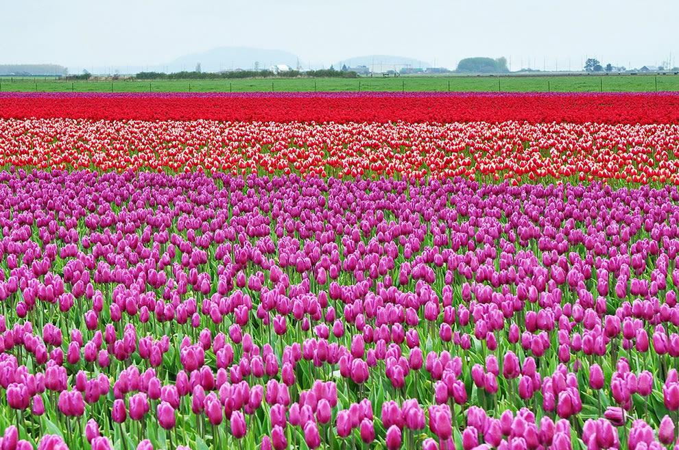 Skagit Valley, Ουάσιγκτον, Ηνωμένες Πολιτείες της Αμερικής, τα πεδία τουλίπα