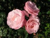 Rose Versailles