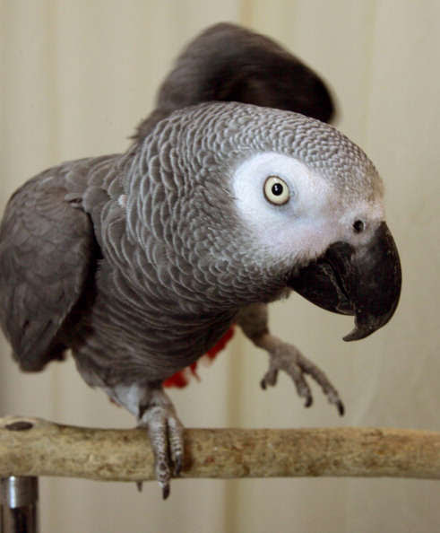 WALTHAM, MA - JANUARY 12: Alex the parrot speaks - he is adept at counting and naming objects. (Photo by Mark Wilson/The Boston Globe via Getty Images)