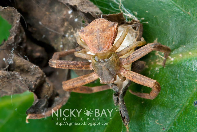 Crab Spider (Thomisidae) - DSC_6025