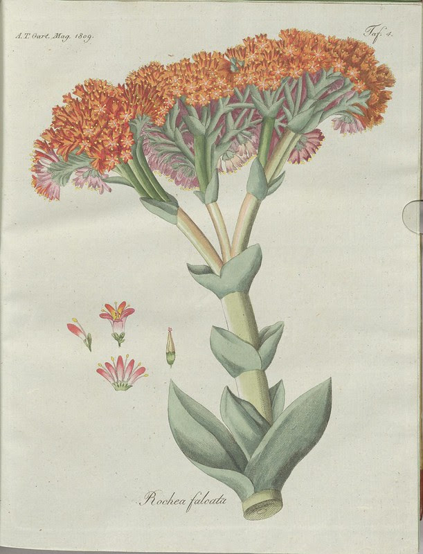Rochea falcata (hand-coloured botanical engraving courtesy kulturerbe niedersachsen)