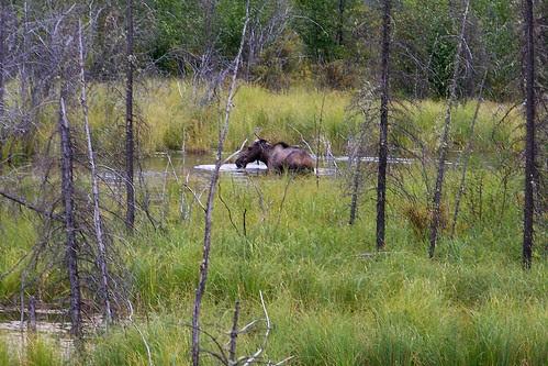 100_0185-Moose at -Toad River Lodge & RV Park