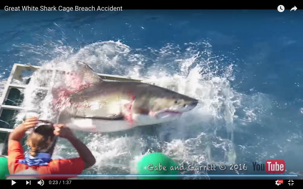 El tiburón logra salir con un daño severo en la zona de las branquias y el abdomen