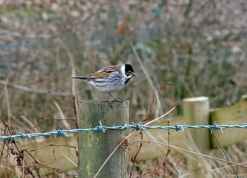 12061 - Reed Bunting at RSPB Ynys-Hir