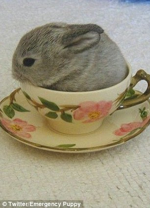 Milk and two sugars: An adorable bunny puts the tea in teacup size