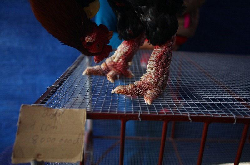 Raça de galinha vietnamita rara tem as pernas mais estranhas que você já viu 12