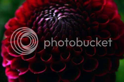 black_red_dahlia.jpg Dahlia image by tonisara1