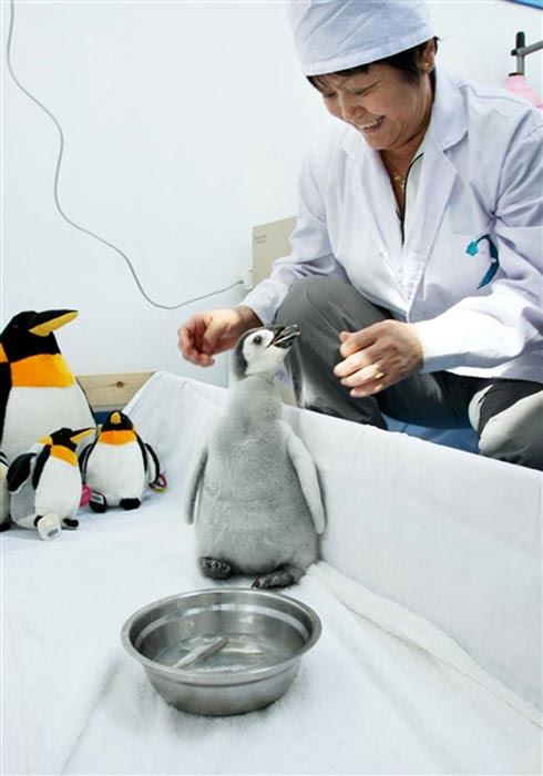Ήταν κάποτε ένα άσχημο πιγκουινάκι... (4)