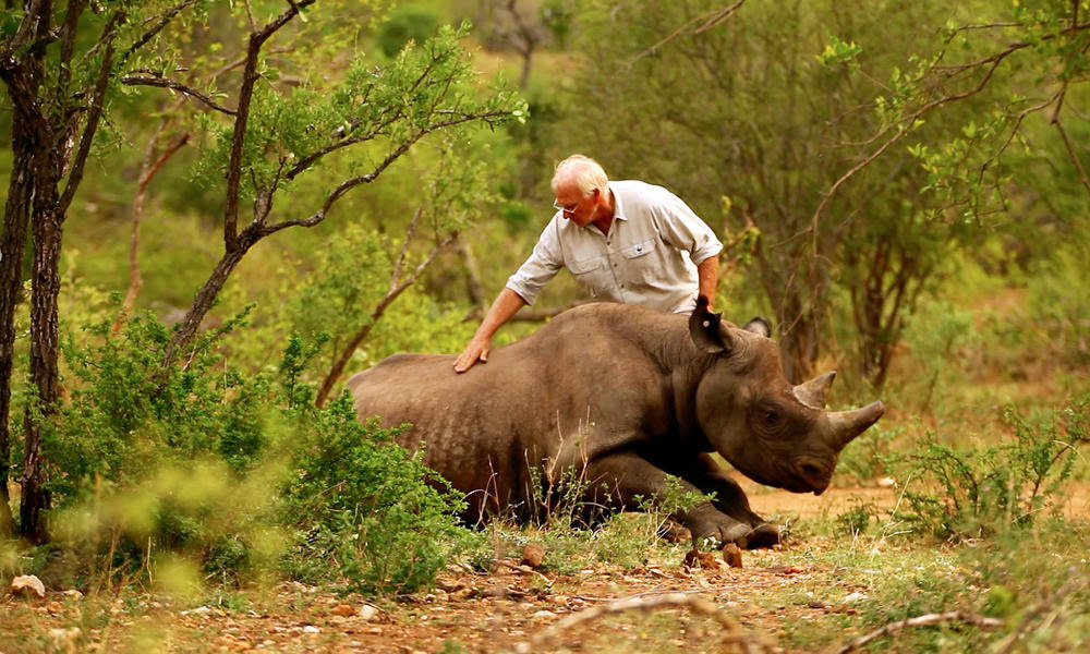 A man patting the back of a black rhino that is standing up