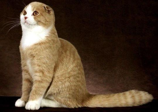 Perawatan Kucing Kucing Scottish Fold Coupari