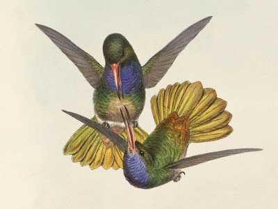 Chrysuronia eliciae - hummingbird illustration
