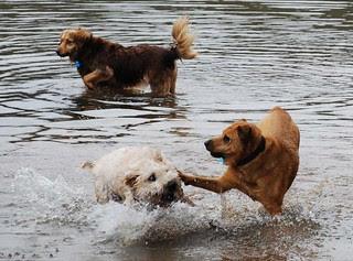 dogs_wrestling1