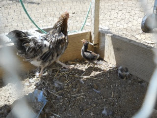 New Chicks 2012 Fifteenth Hatching