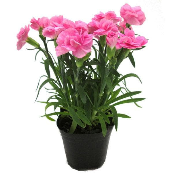 Carnation Of India Plants For Sale