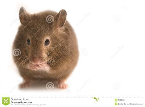 Little Brown Hamster Stock Image   Image: 14080051
