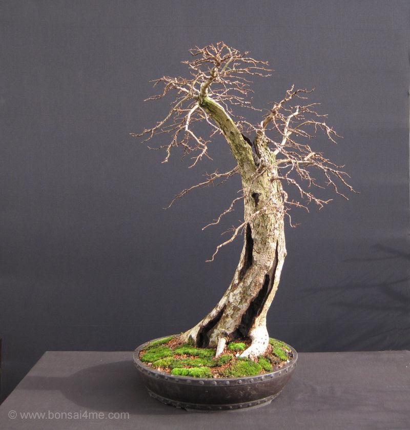 elm bonsai