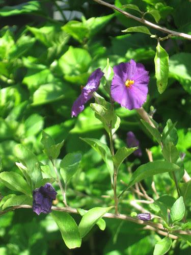 potato bush flower