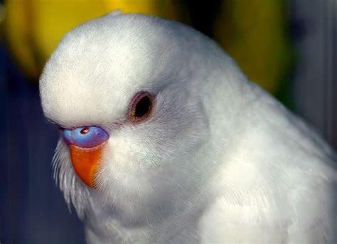 white parakeet    tweetie