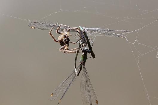 Weidenjungfern im Spinnennetz