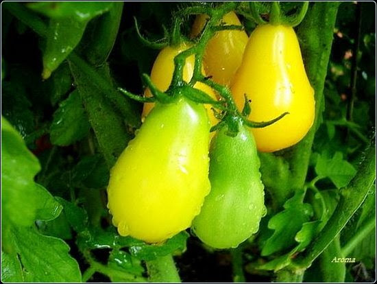 Pear Tomatoes