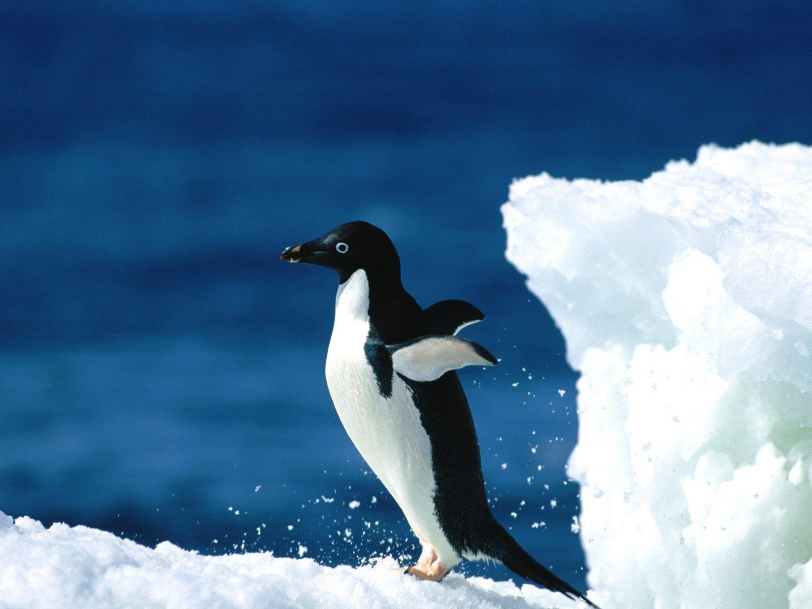 ペンギン写真の壁紙 17 1600x1200 壁紙ダウンロード ペンギン写真